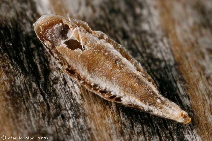 cochenilles bouclier diaspididae coccoidea h mipt res. Black Bedroom Furniture Sets. Home Design Ideas