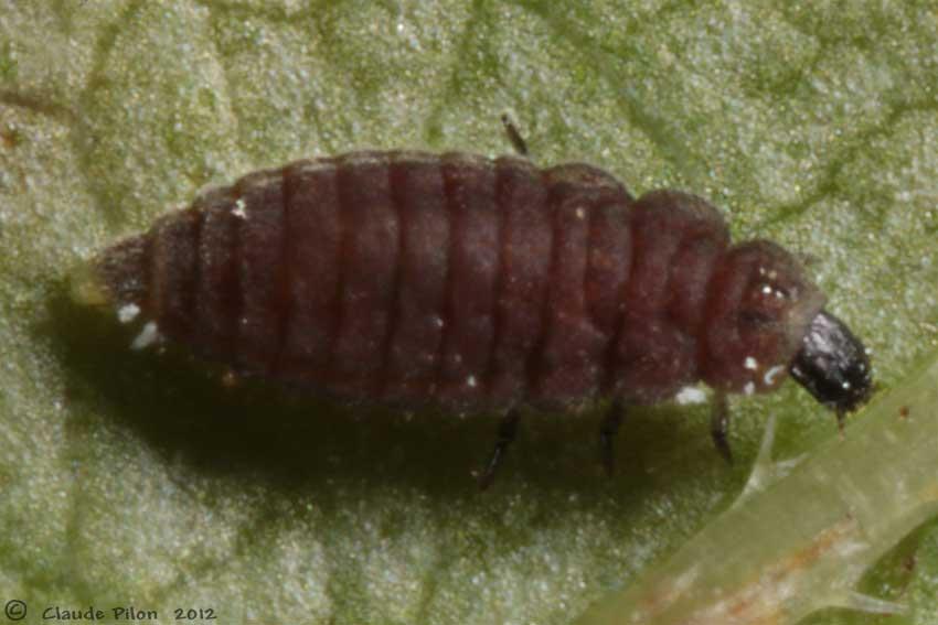 Pr dateurs des cochenilles coccoidea h mipt res - Cochenille noire de l olivier ...